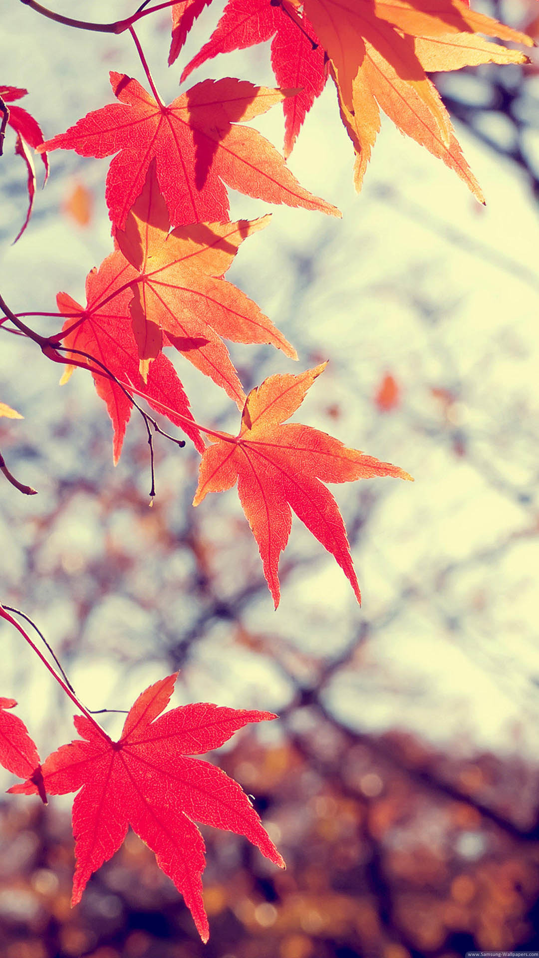 hd wallpapers for mobile,tree,leaf,black maple,maple leaf,red