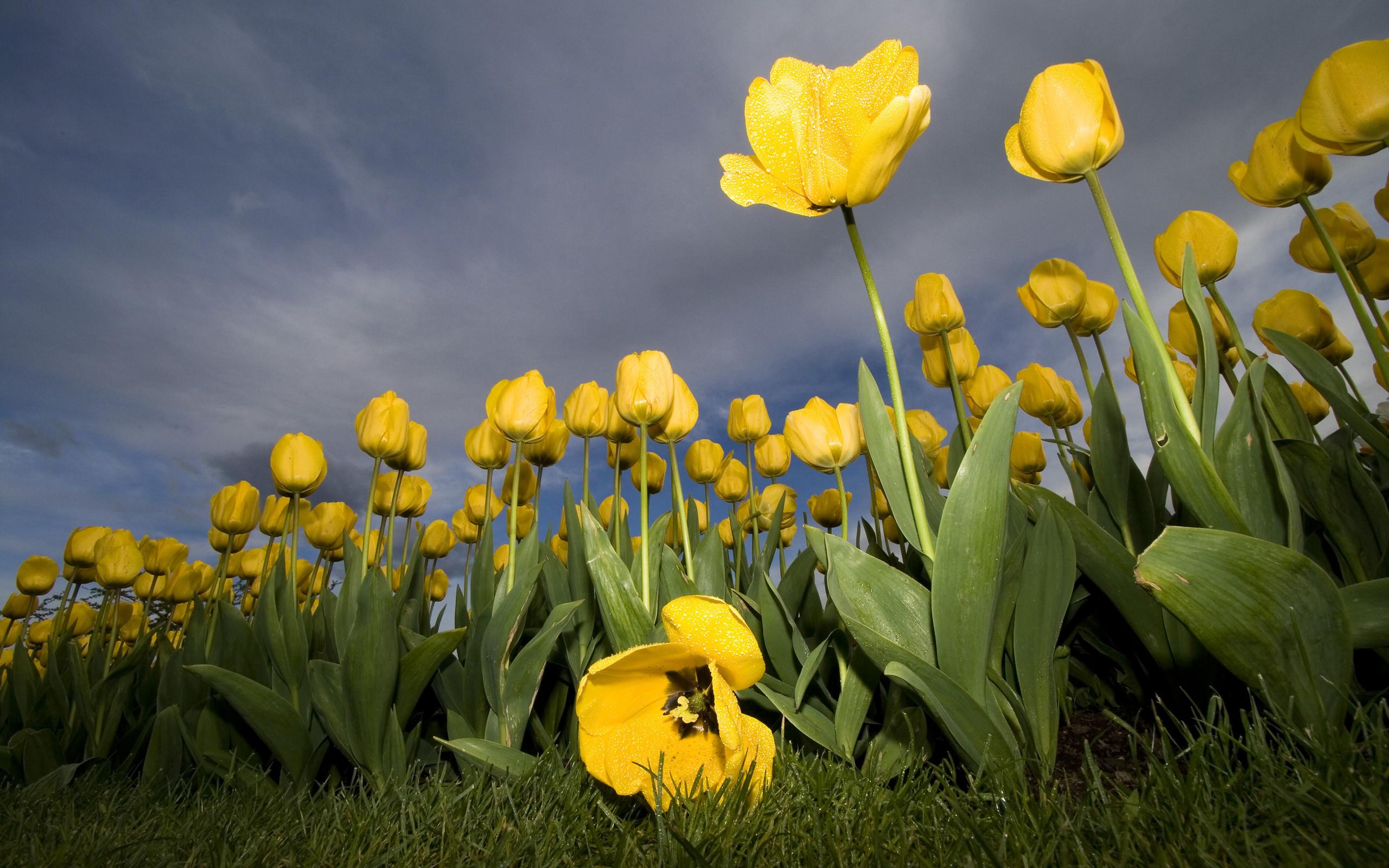nature wallpaper,flower,yellow,plant,tulip,spring