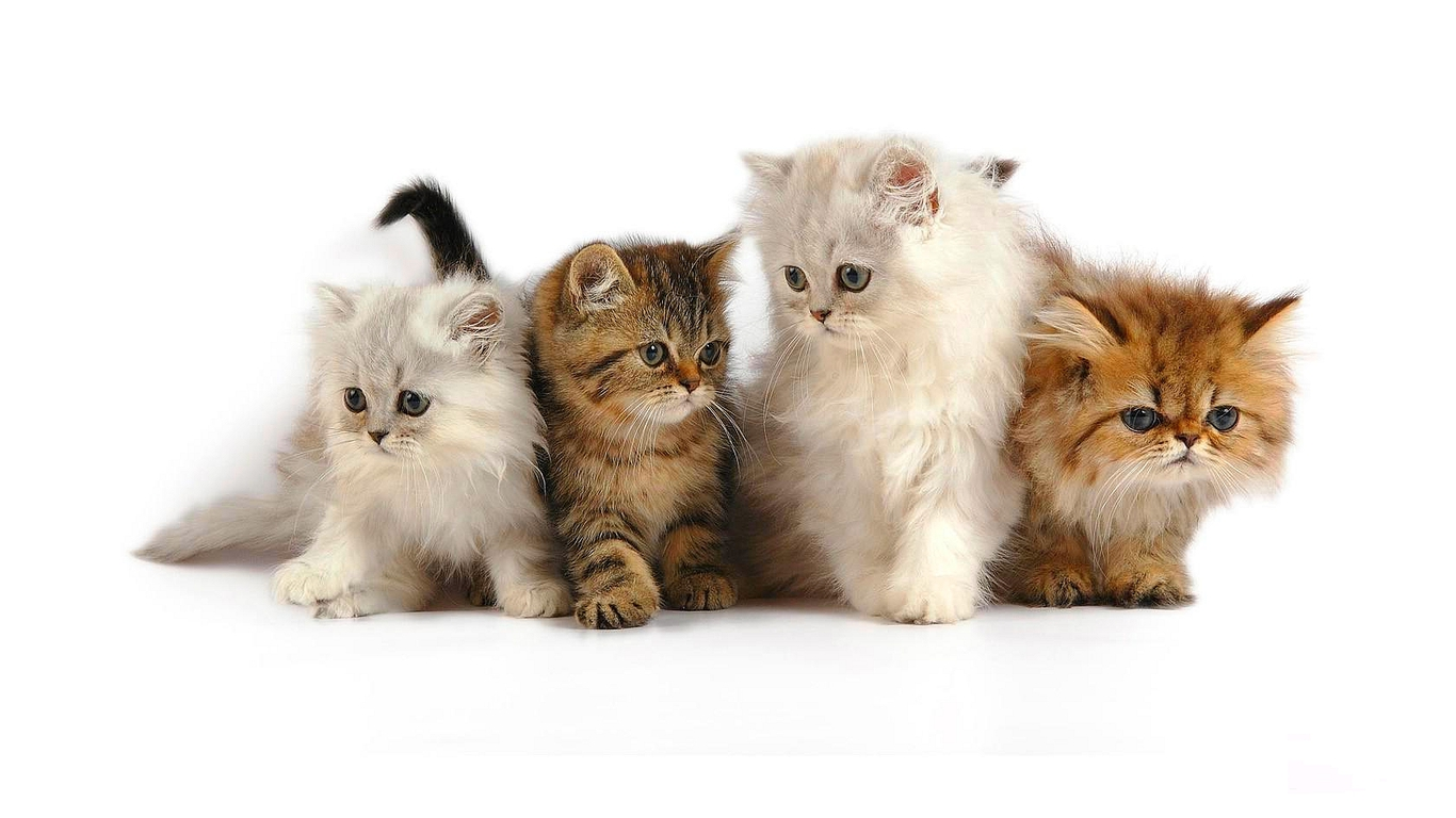 cute cat wallpaper,cat,mammal,vertebrate,small to medium sized cats,felidae