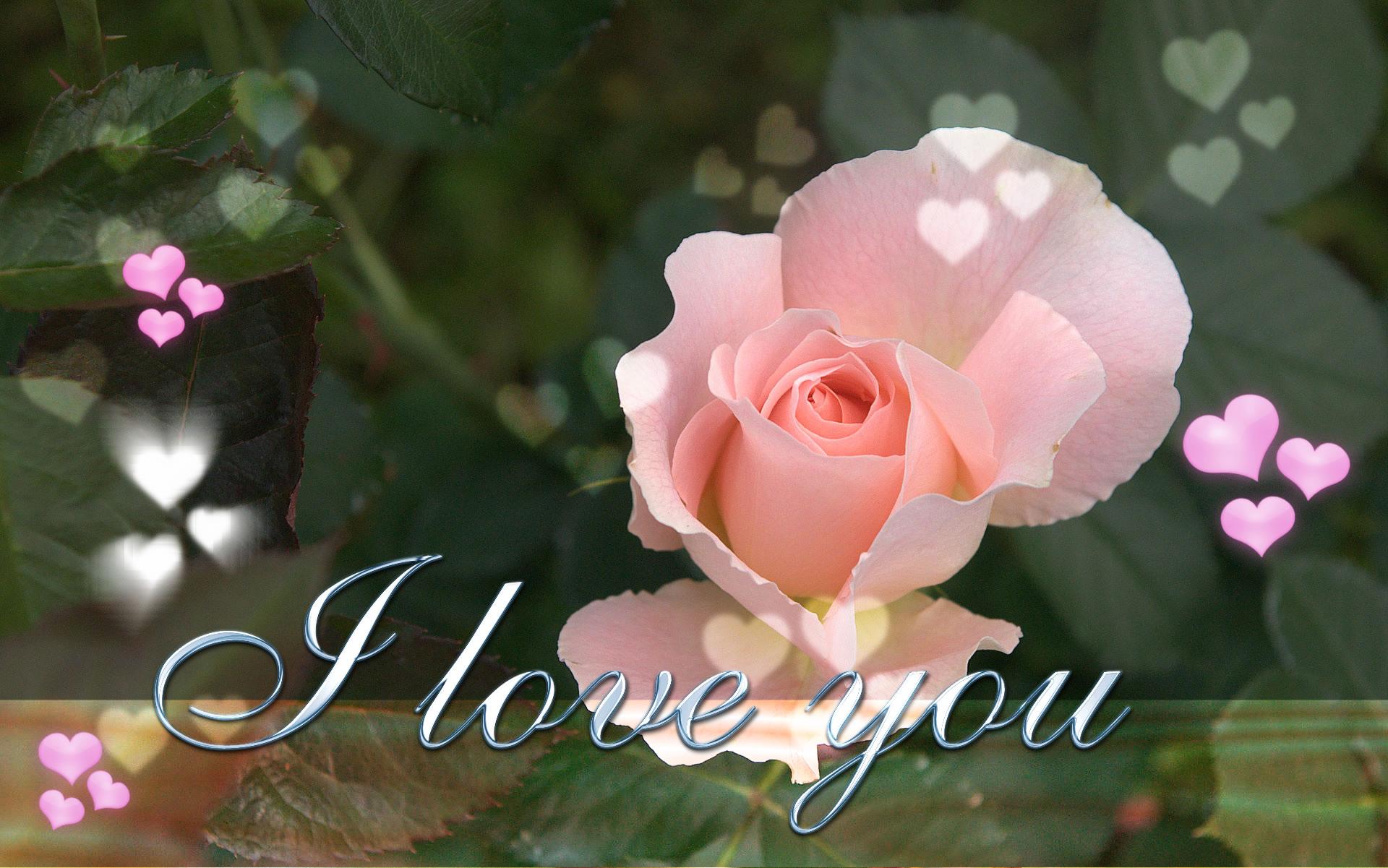 i love you wallpaper,flower,pink,petal,garden roses,rose family