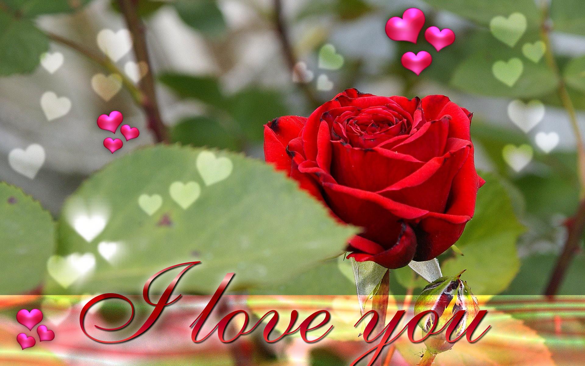 i love you wallpaper,garden roses,flower,red,rose,petal