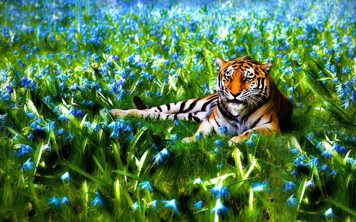 nature wallpaper hd 3d,tiger,bengal tiger,wildlife,felidae,terrestrial animal