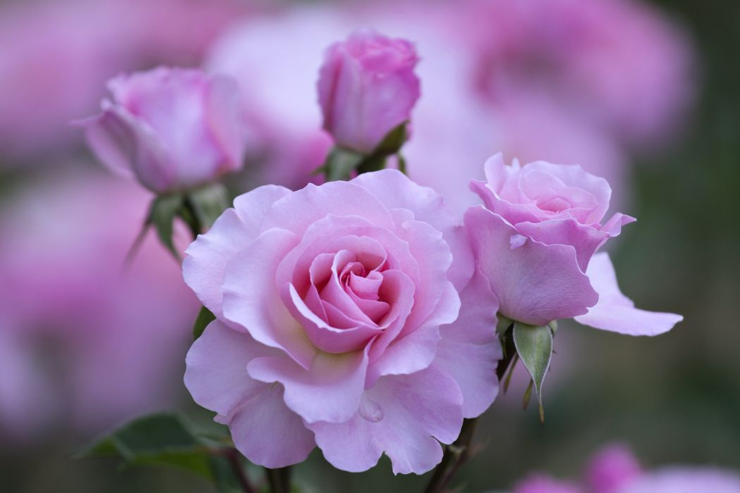 love flowers wallpapers,flower,flowering plant,petal,pink,garden roses
