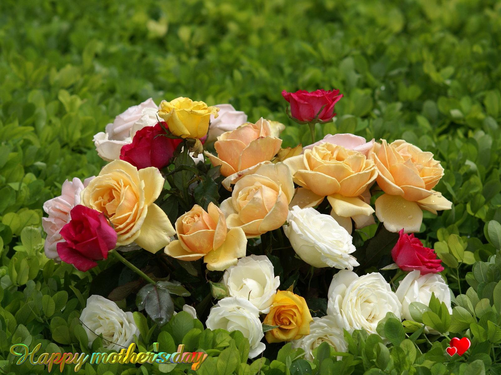 mother love wallpapers,flower,garden roses,flowering plant,julia child rose,rose