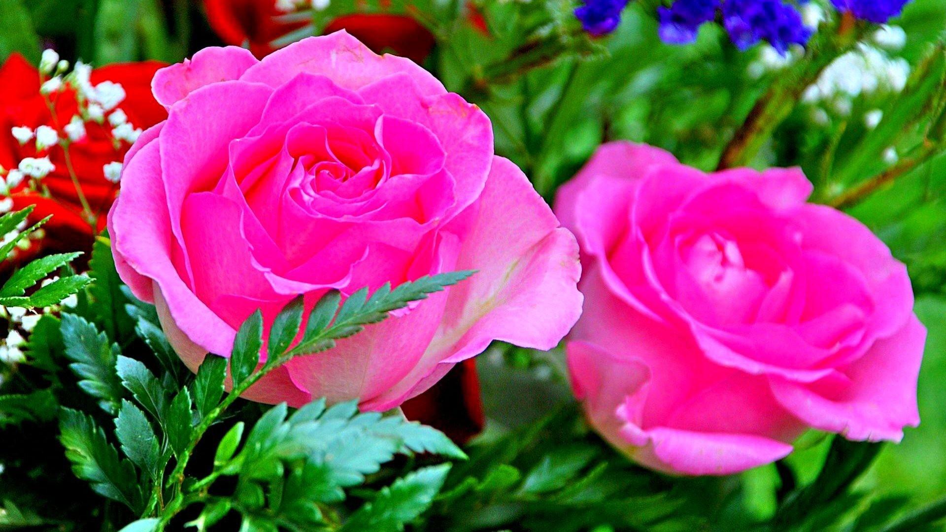 rose flower wallpaper hd free download,flower,flowering plant,petal,pink,plant