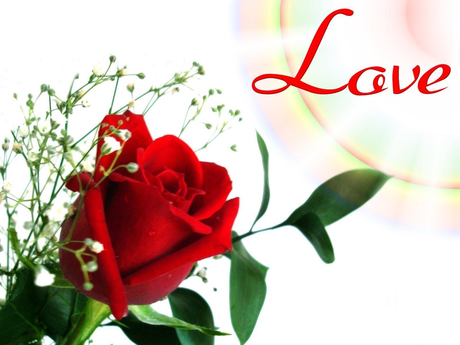 love rose wallpaper,flower,red,garden roses,valentine's day,petal