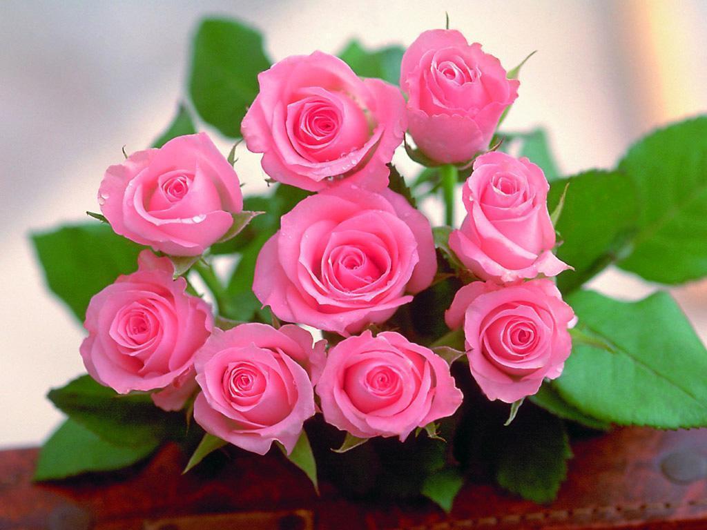 love rose wallpaper,flower,flowering plant,garden roses,pink,rose