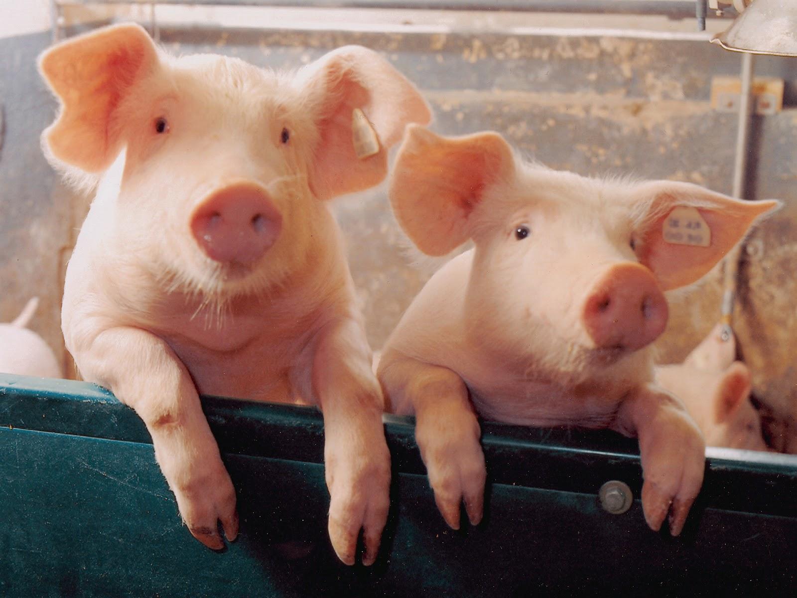pig wallpaper,domestic pig,suidae,snout,nose,livestock
