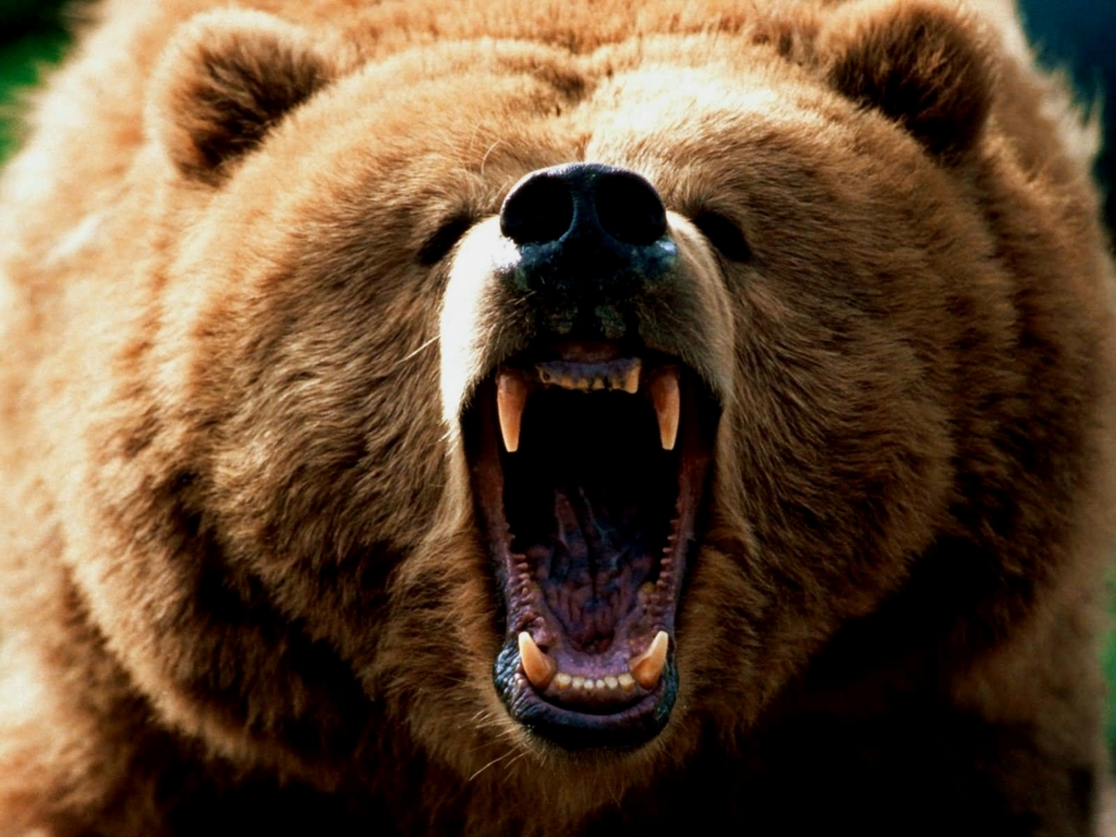 bear wallpaper,brown bear,mammal,vertebrate,terrestrial animal,grizzly bear