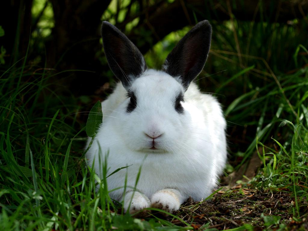 Rabbit Wallpapers - Rabbit With Black Ears