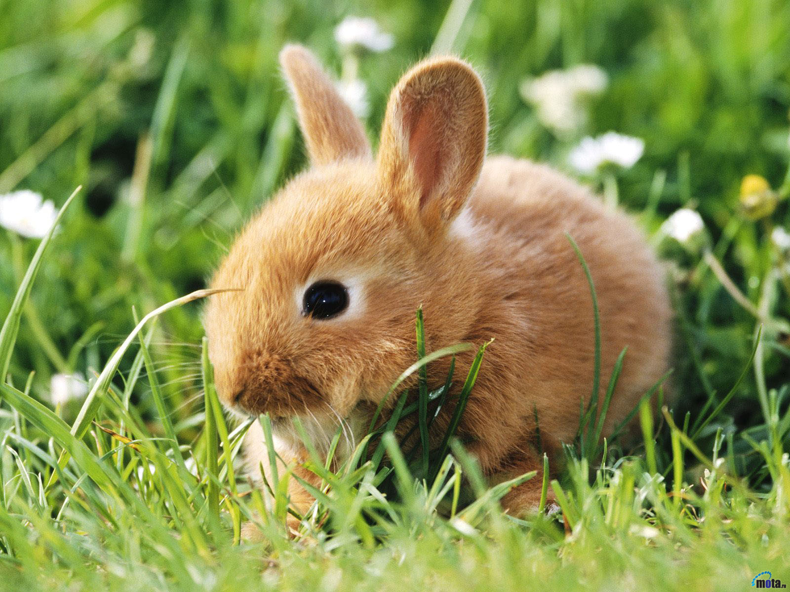 rabbit wallpaper,rabbit,domestic rabbit,rabbits and hares,mountain cottontail,mammal
