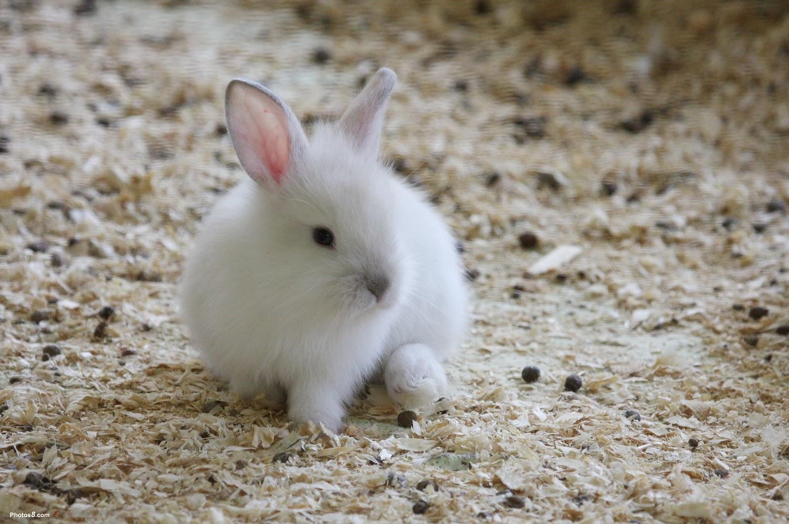 White Rabbit Brown Eyes