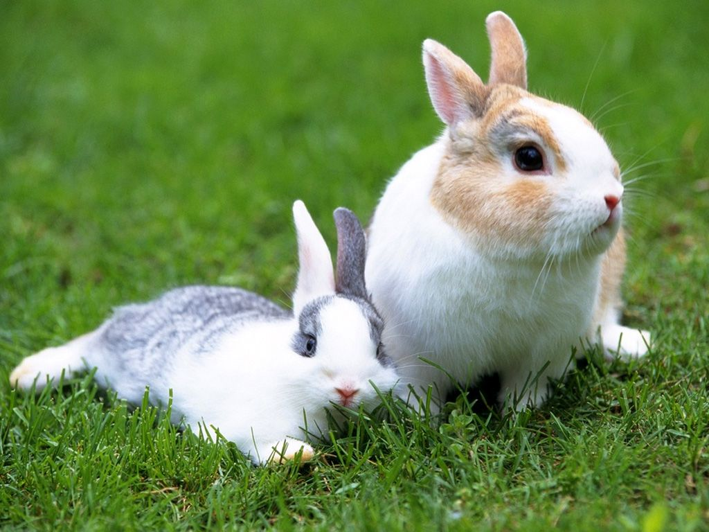 rabbit wallpaper,rabbit,domestic rabbit,mammal,vertebrate,rabbits and hares