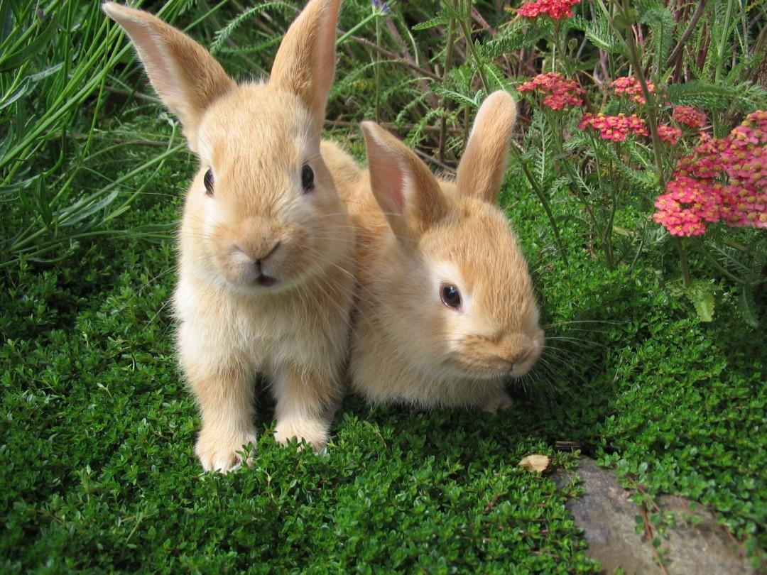rabbit wallpaper,rabbit,mammal,domestic rabbit,vertebrate,rabbits and hares