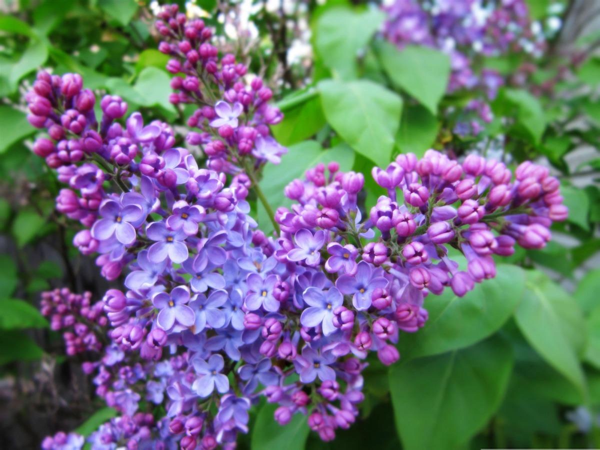 lilac wallpaper,flower,flowering plant,lilac,plant,lilac