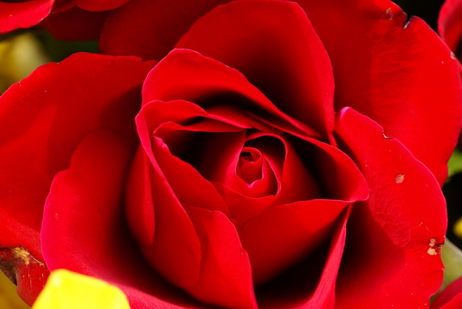 beautiful rose flower wallpaper,flower,petal,garden roses,red,flowering plant