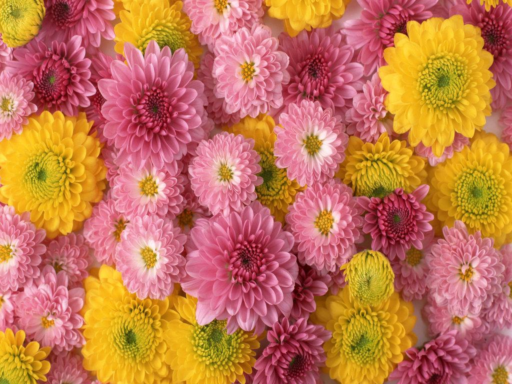 lovely flowers wallpaper,flower,flowering plant,plant,chrysanths,floral design