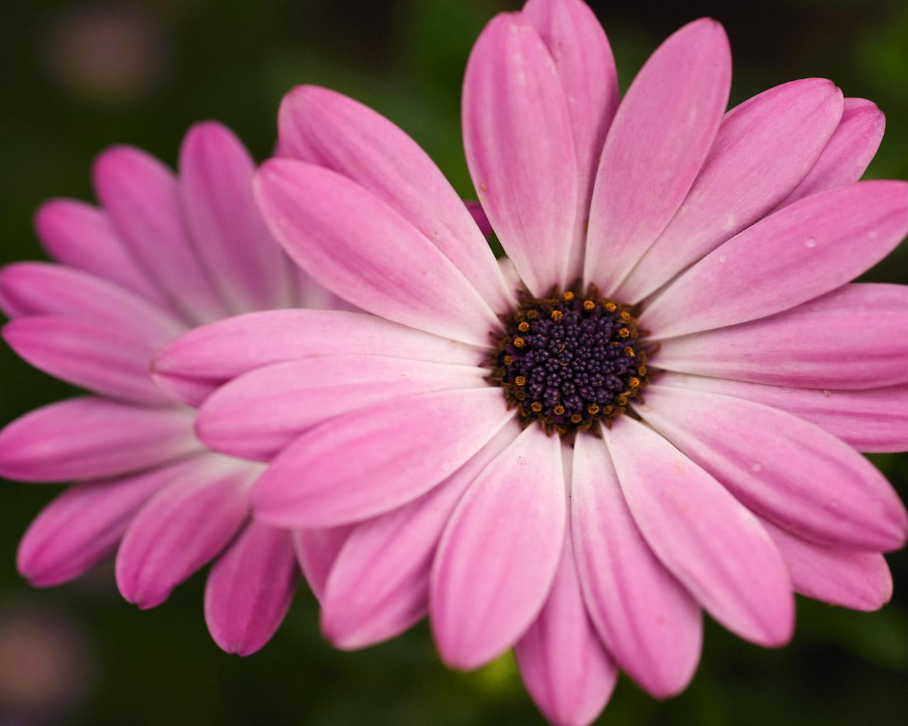 pink flower wallpaper,flower,flowering plant,petal,barberton daisy,african daisy