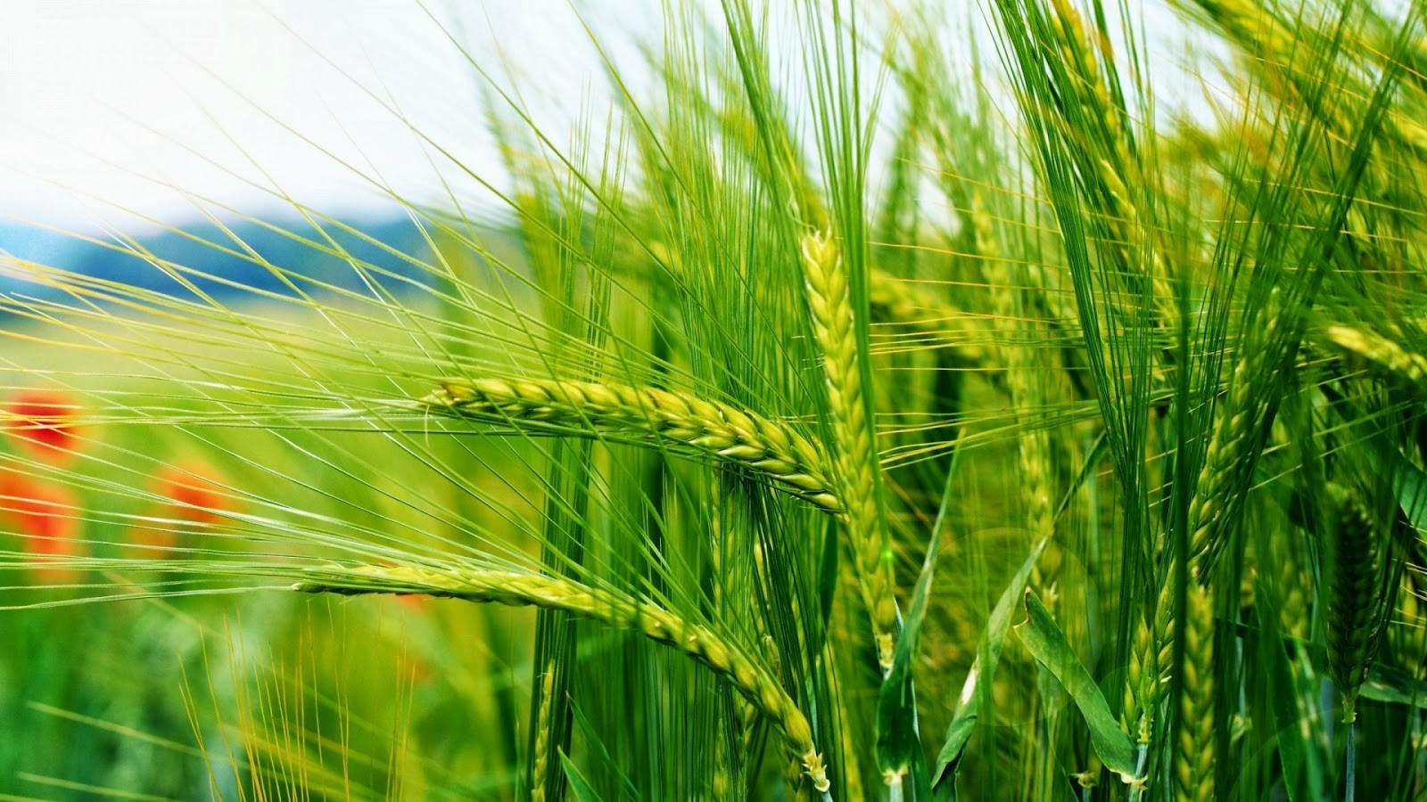 nature wallpaper full hd,plant,barley,hordeum,food grain,triticale