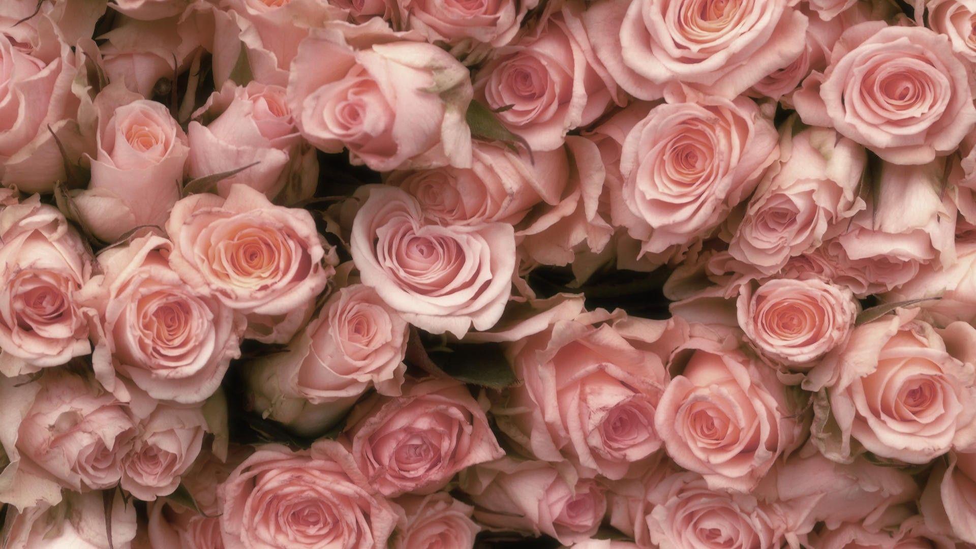 desktop wallpaper tumblr,flower,rose,garden roses,flowering plant,pink