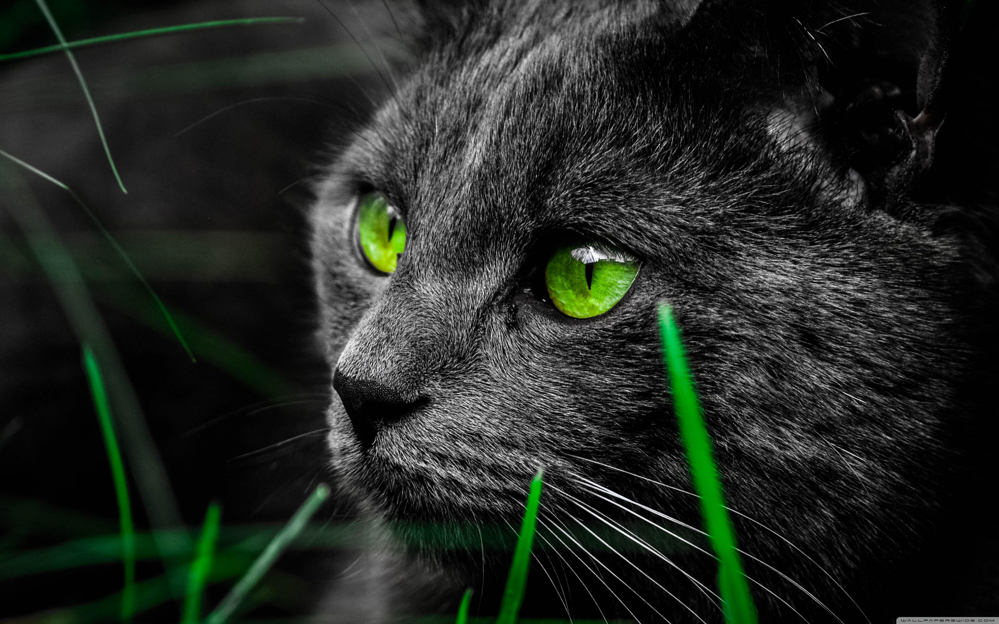 4k ultra hd wallpapers,cat,mammal,vertebrate,green,whiskers