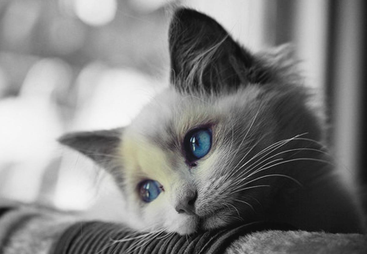 sad cat wallpaper,cat,vertebrate,whiskers,small to medium sized cats,mammal