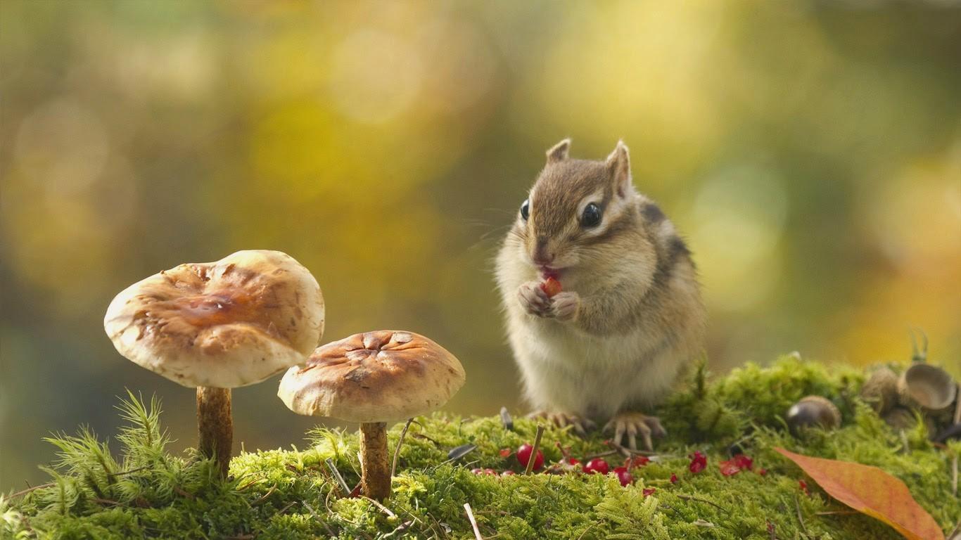 chipmunk wallpaper,vertebrate,squirrel,eastern chipmunk,wildlife,chipmunk