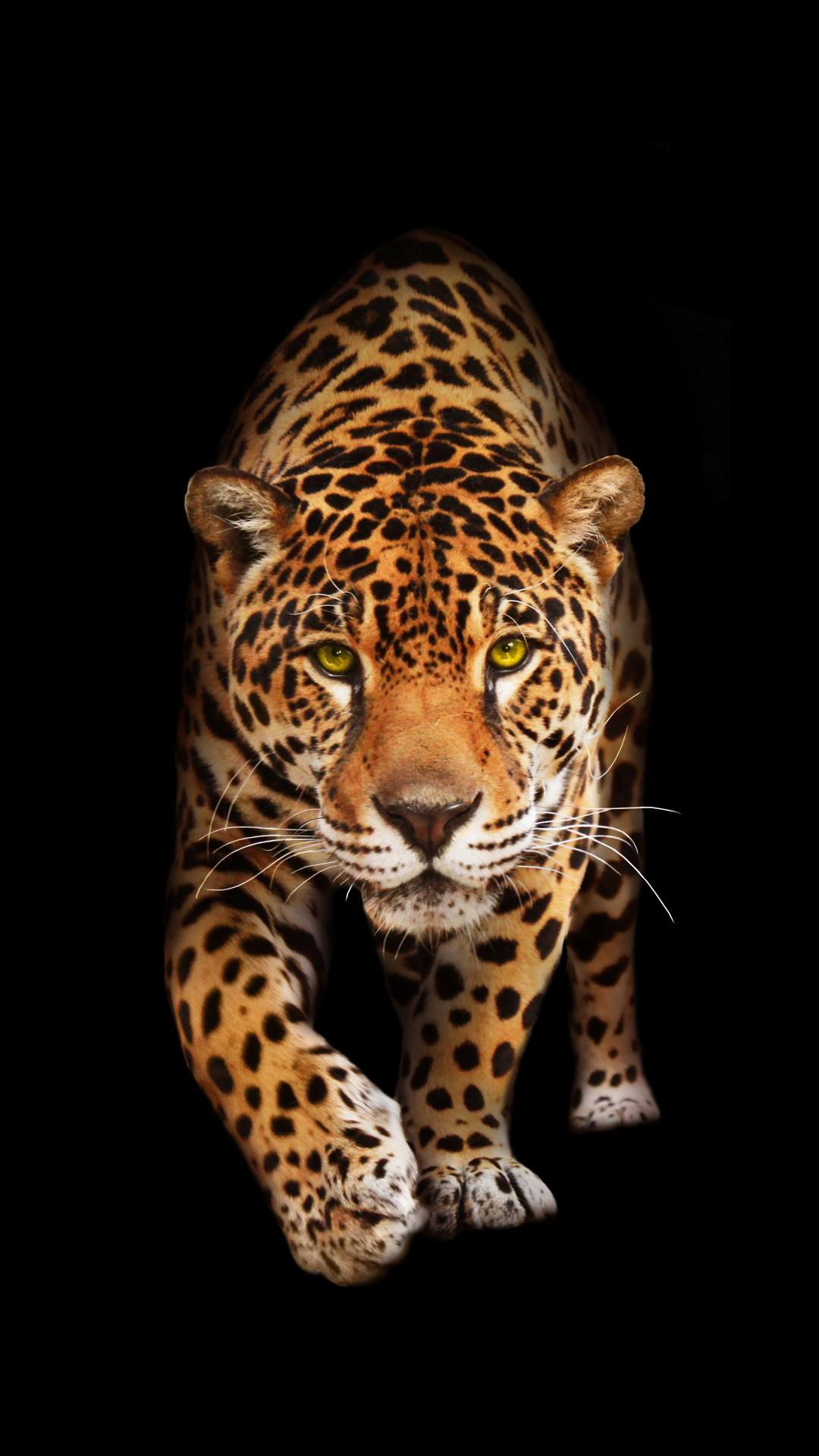 jaguar iphone wallpaper,terrestrial animal,mammal,vertebrate,wildlife,jaguar