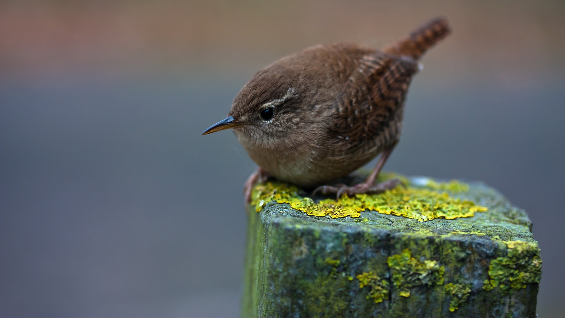 nature birds wallpaper,bird,wren,beak,carolina wren,house wren