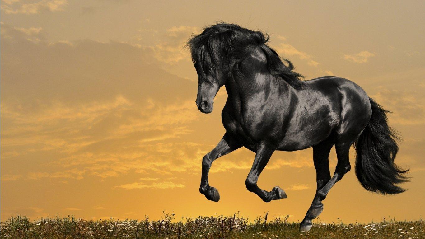 dark horse wallpaper,horse,mammal,vertebrate,mane,stallion