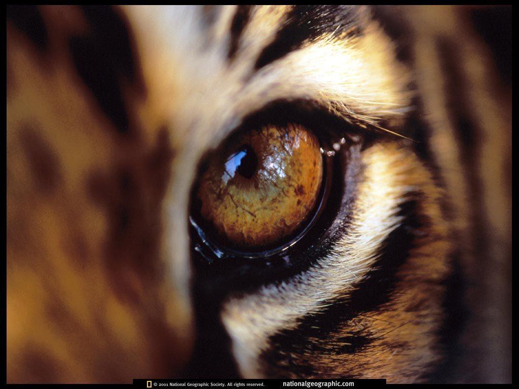 tiger eye wallpaper,bengal tiger,eye,felidae,whiskers,close up