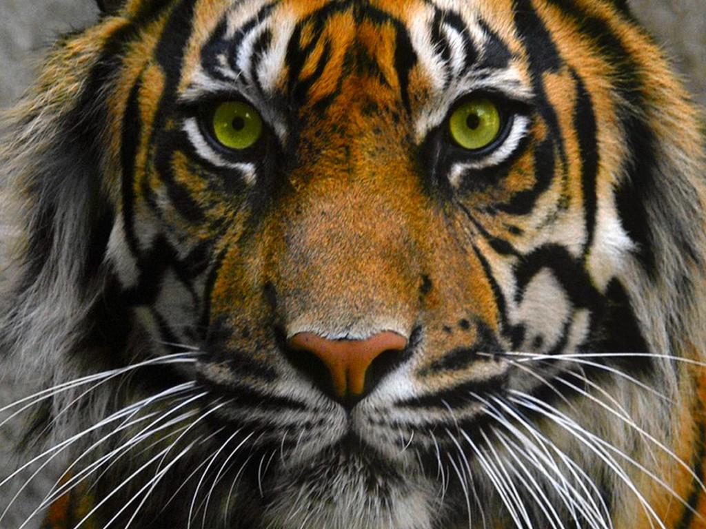 tiger eye wallpaper,tiger,wildlife,mammal,vertebrate,terrestrial animal