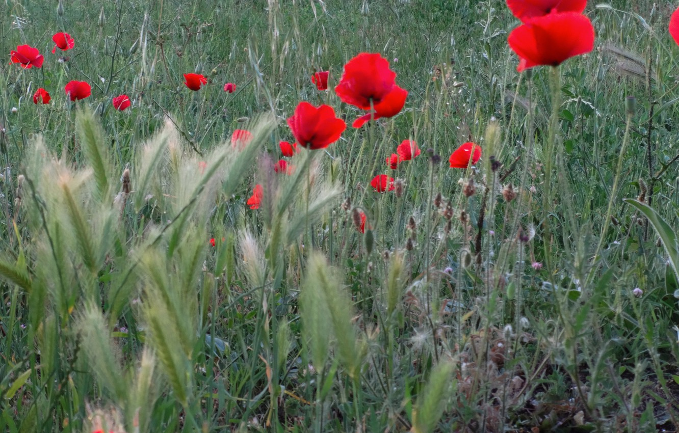 hd wallpapers for mac,flower,flowering plant,plant,coquelicot,corn poppy
