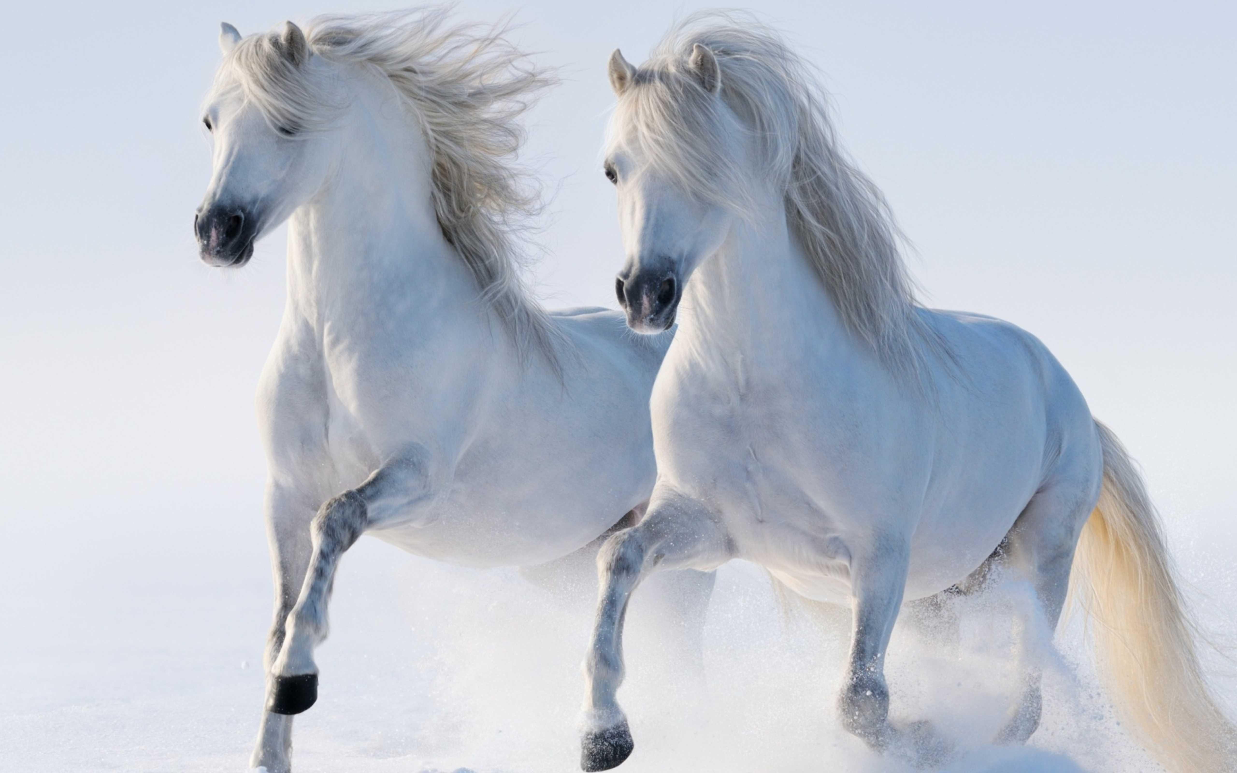 snow wallpaper,horse,mane,stallion,animal figure,mare