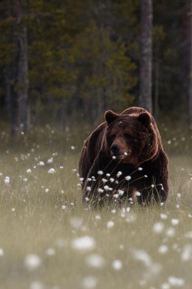 クマのiphoneの壁紙,ヒグマ,ハイイログマ,くま,アメリカクロクマ,野生動物