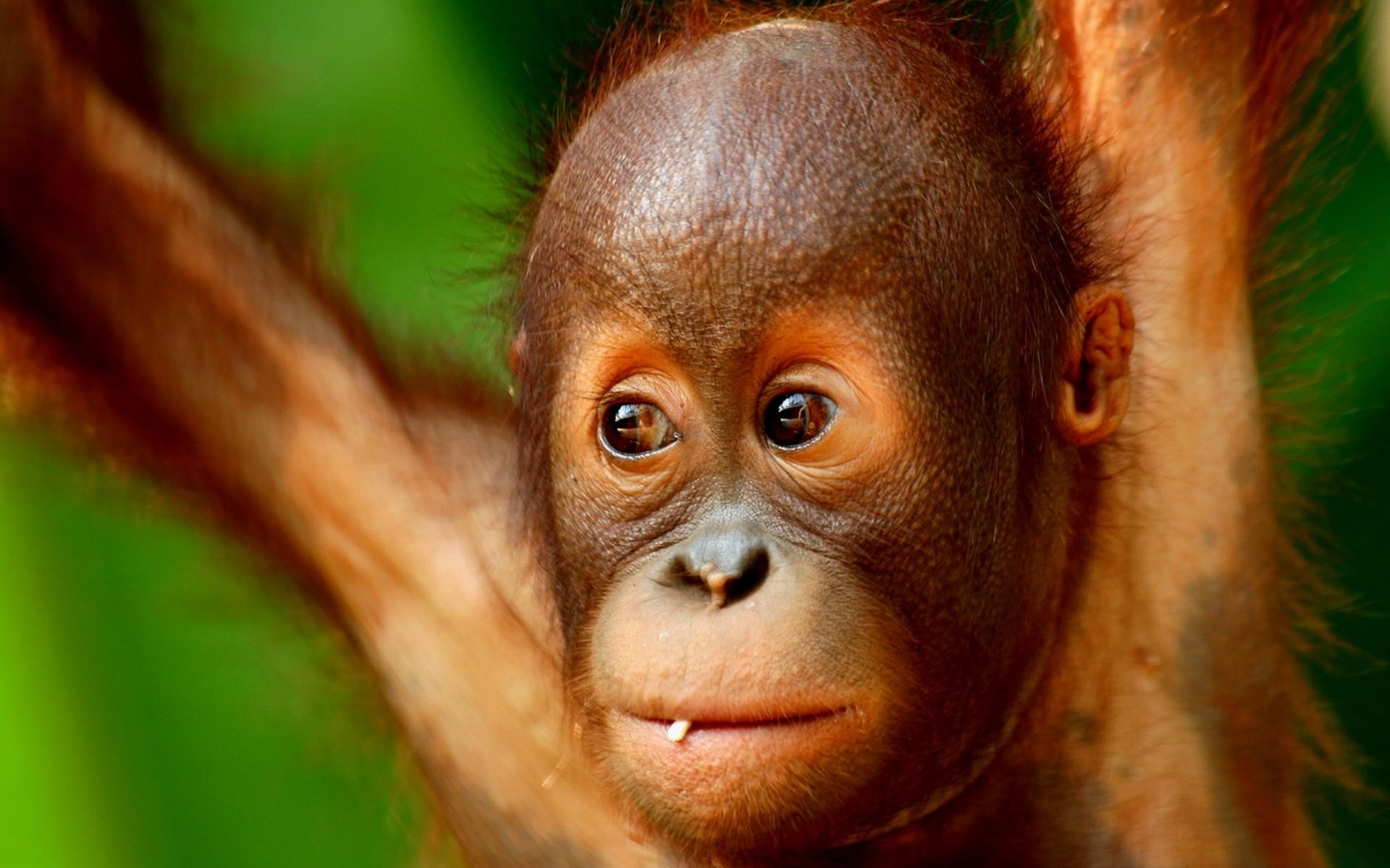 cool monkey wallpaper,orangutan,vertebrate,mammal,primate,skin
