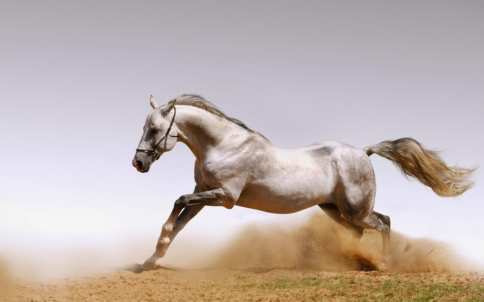beautiful animal wallpapers,horse,mammal,vertebrate,stallion,mane