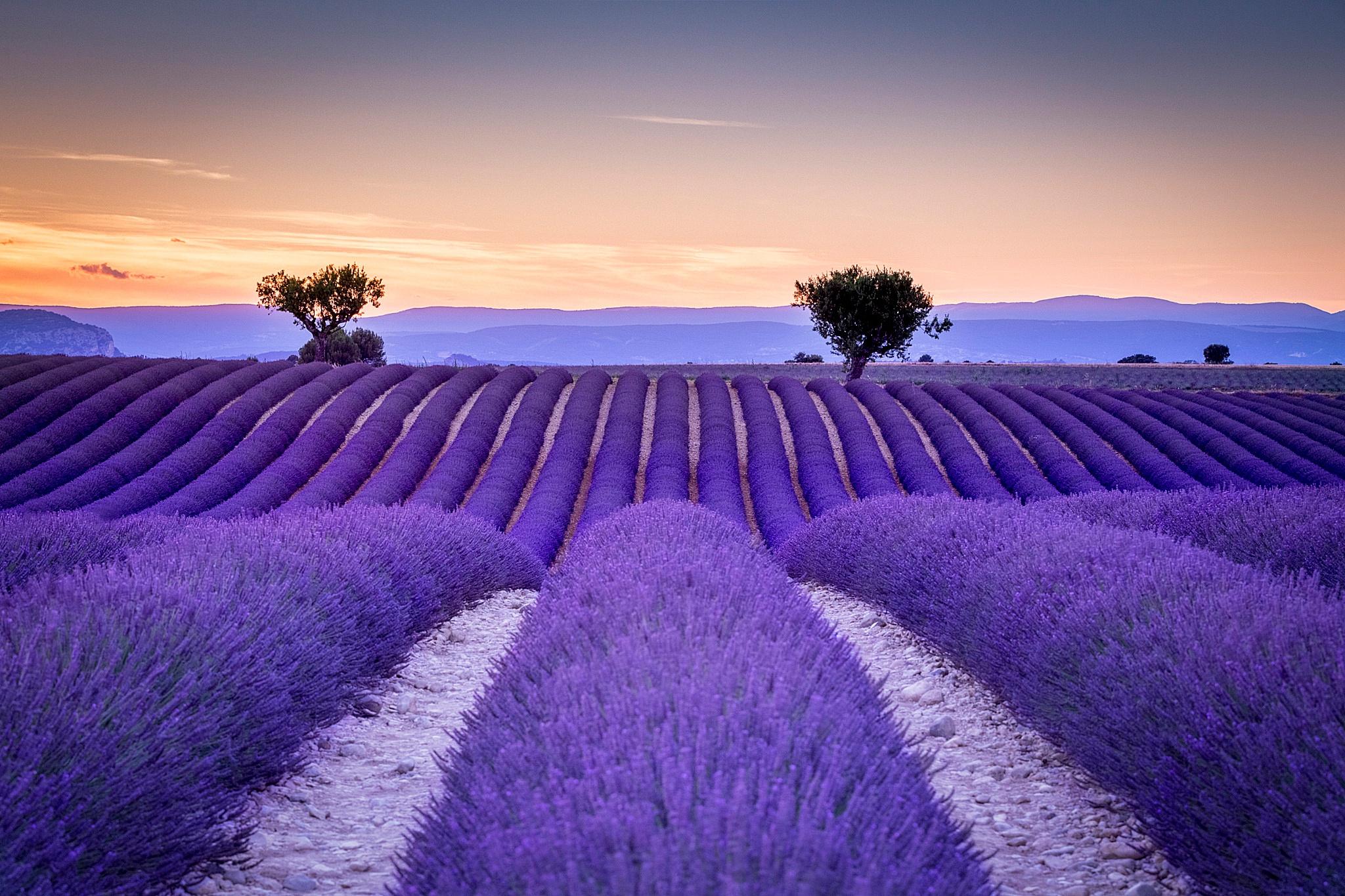 dünya wallpaper,lavender,lavender,english lavender,sky,purple
