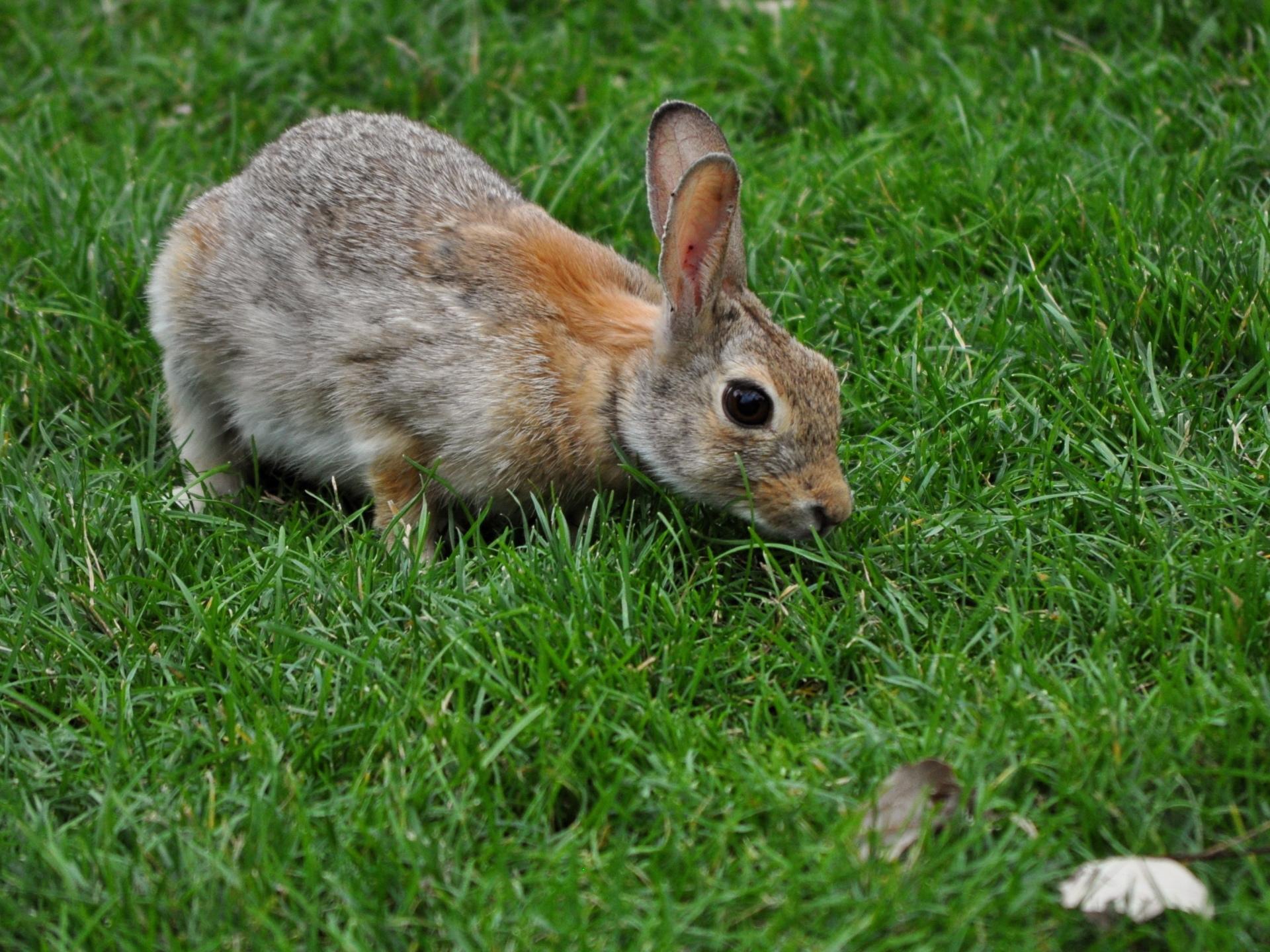 hare wallpaper,rabbit,mammal,domestic rabbit,vertebrate,rabbits and hares
