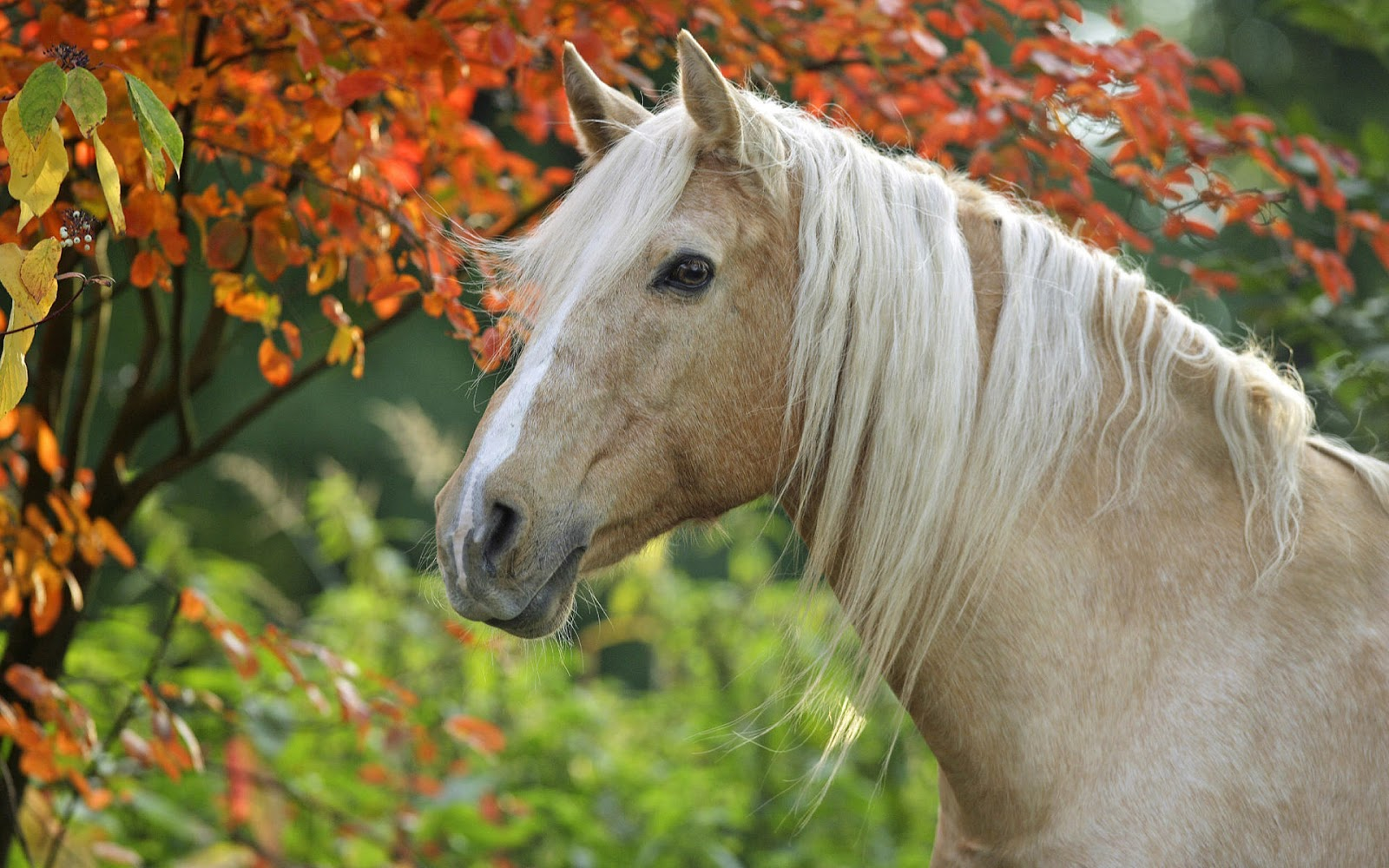 horse wallpaper,horse,mammal,vertebrate,mane,wildlife