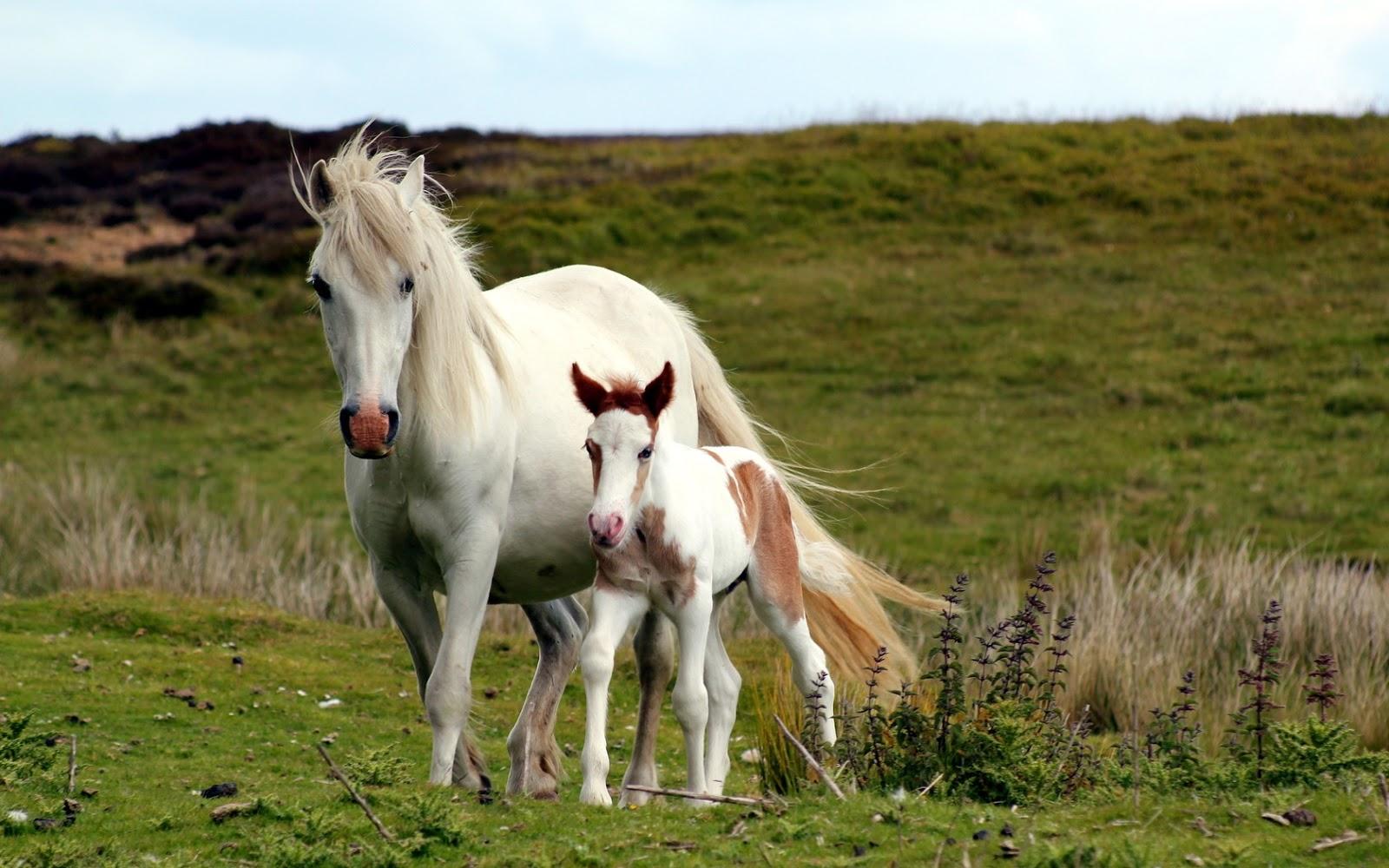 horse wallpaper,horse,mammal,vertebrate,pasture,mane