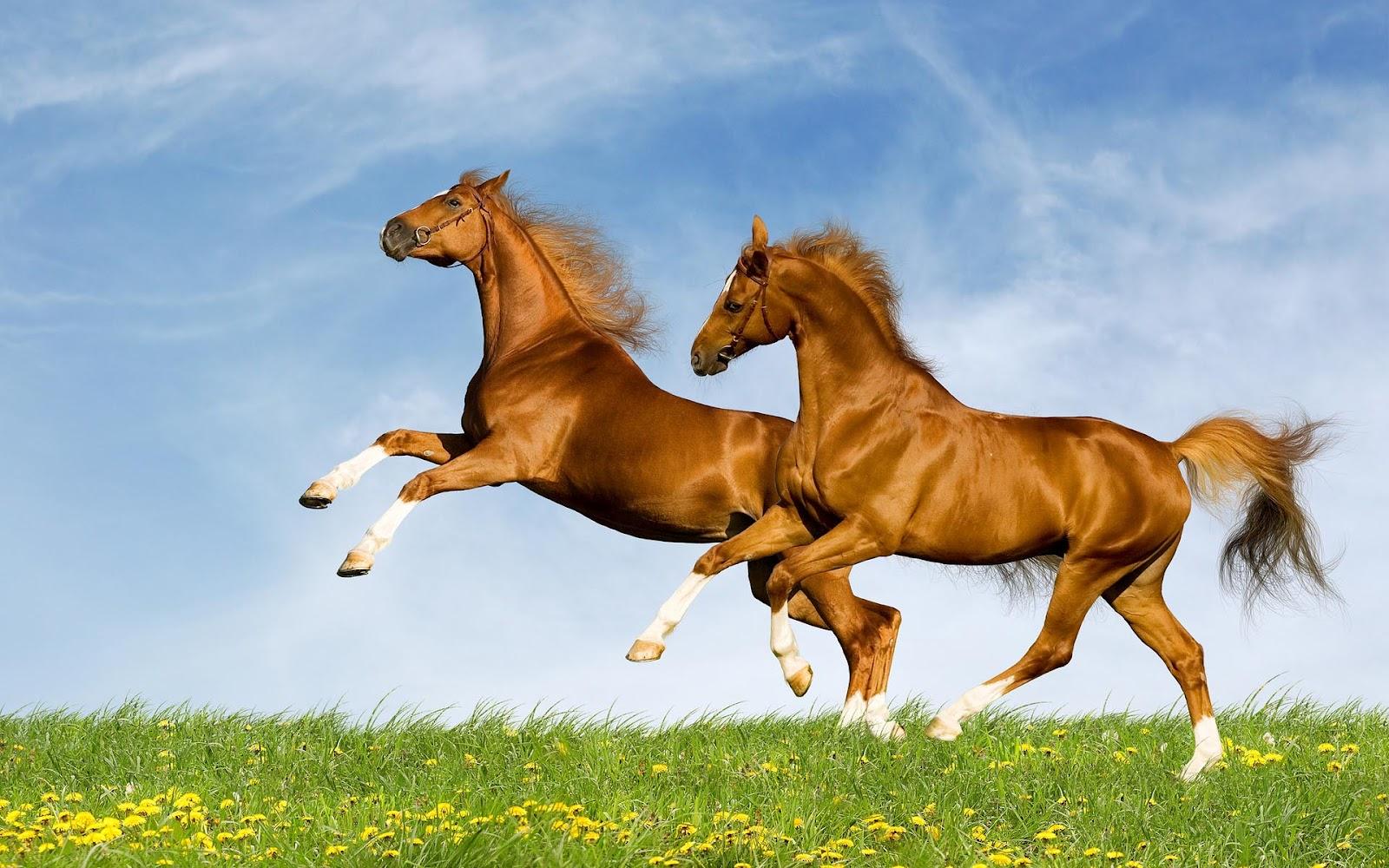 horse wallpaper,horse,mammal,vertebrate,mane,stallion