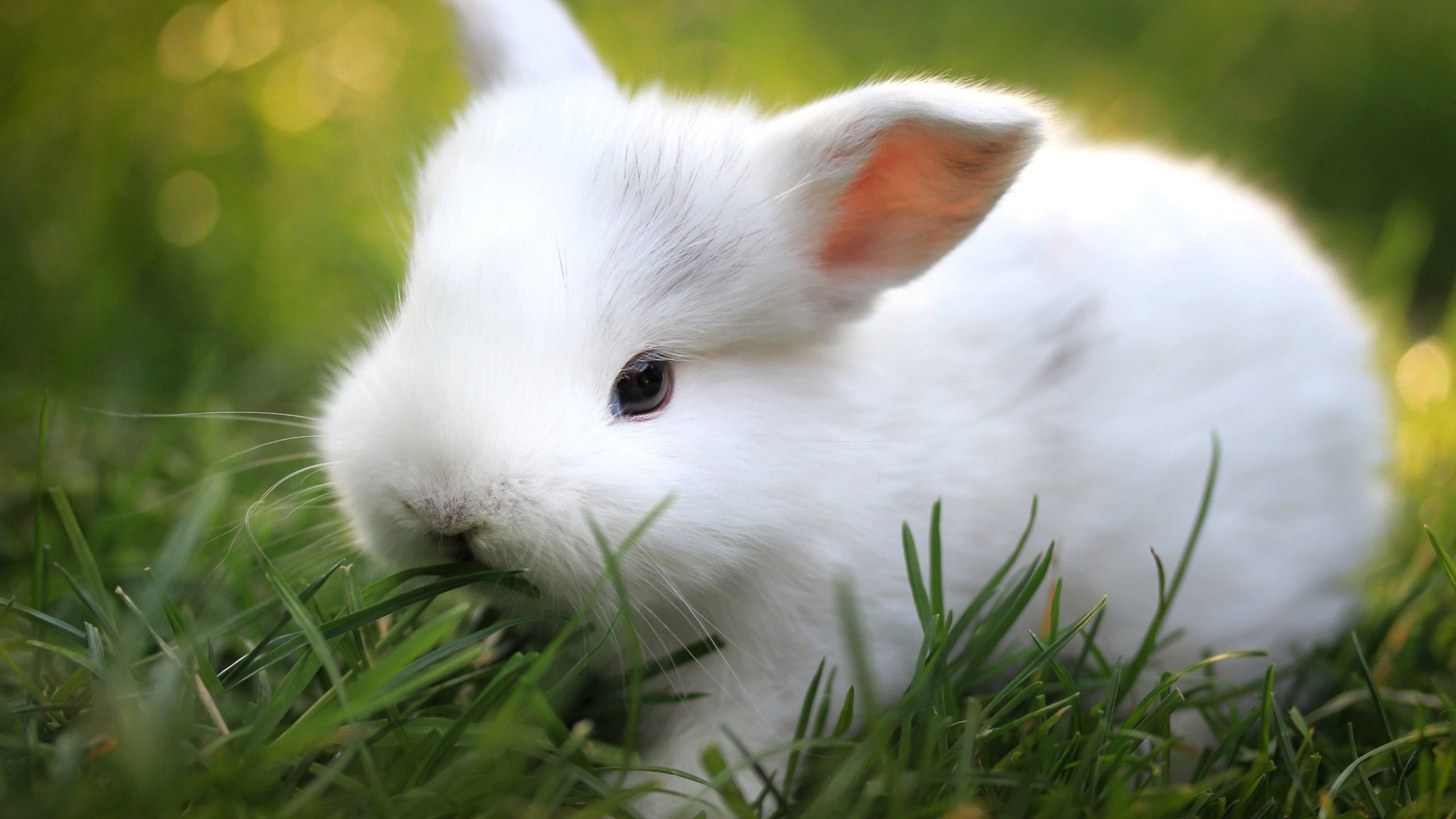 adorable wallpapers,rabbit,domestic rabbit,rabbits and hares,grass,whiskers