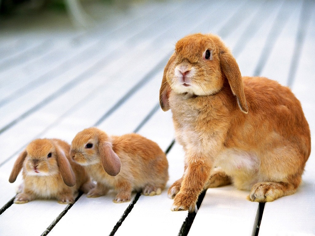 adorable wallpapers,vertebrate,domestic rabbit,mammal,rabbit,rabbits and hares
