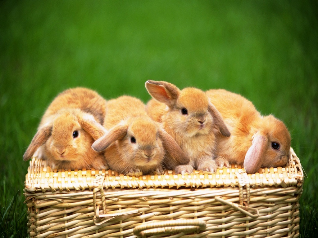 adorable wallpapers,domestic rabbit,rabbit,rabbits and hares,skin,easter bunny