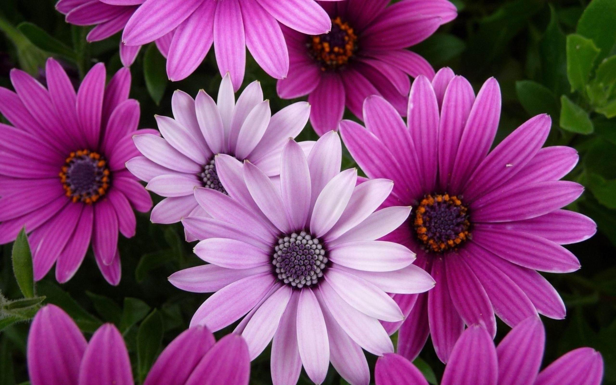 flower laptop wallpaper,flower,flowering plant,petal,african daisy,plant