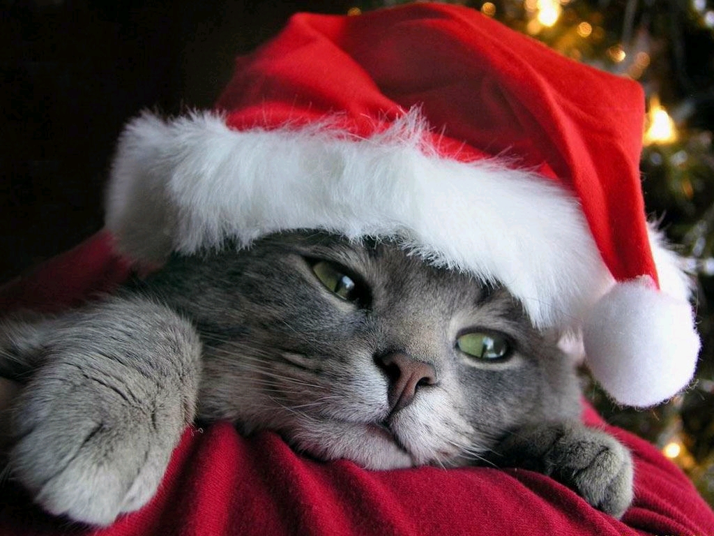funny animal wallpapers,cat,small to medium sized cats,felidae,whiskers,christmas