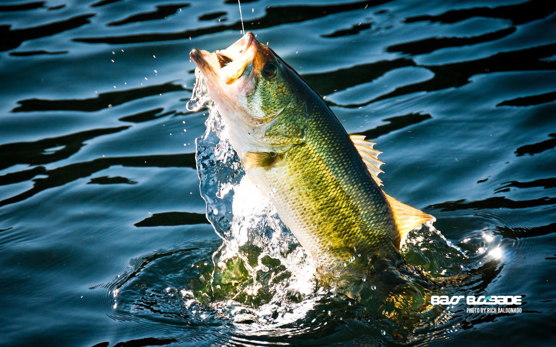 bass fishing wallpaper,fish,bass,water,fish,northern largemouth bass