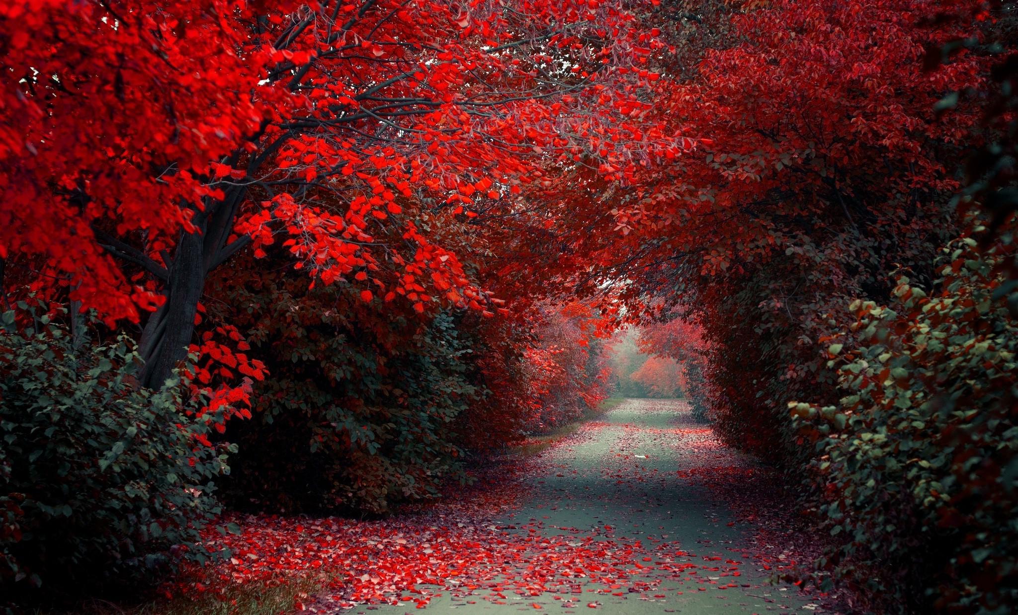 red nature wallpaper,tree,red,nature,natural landscape,leaf