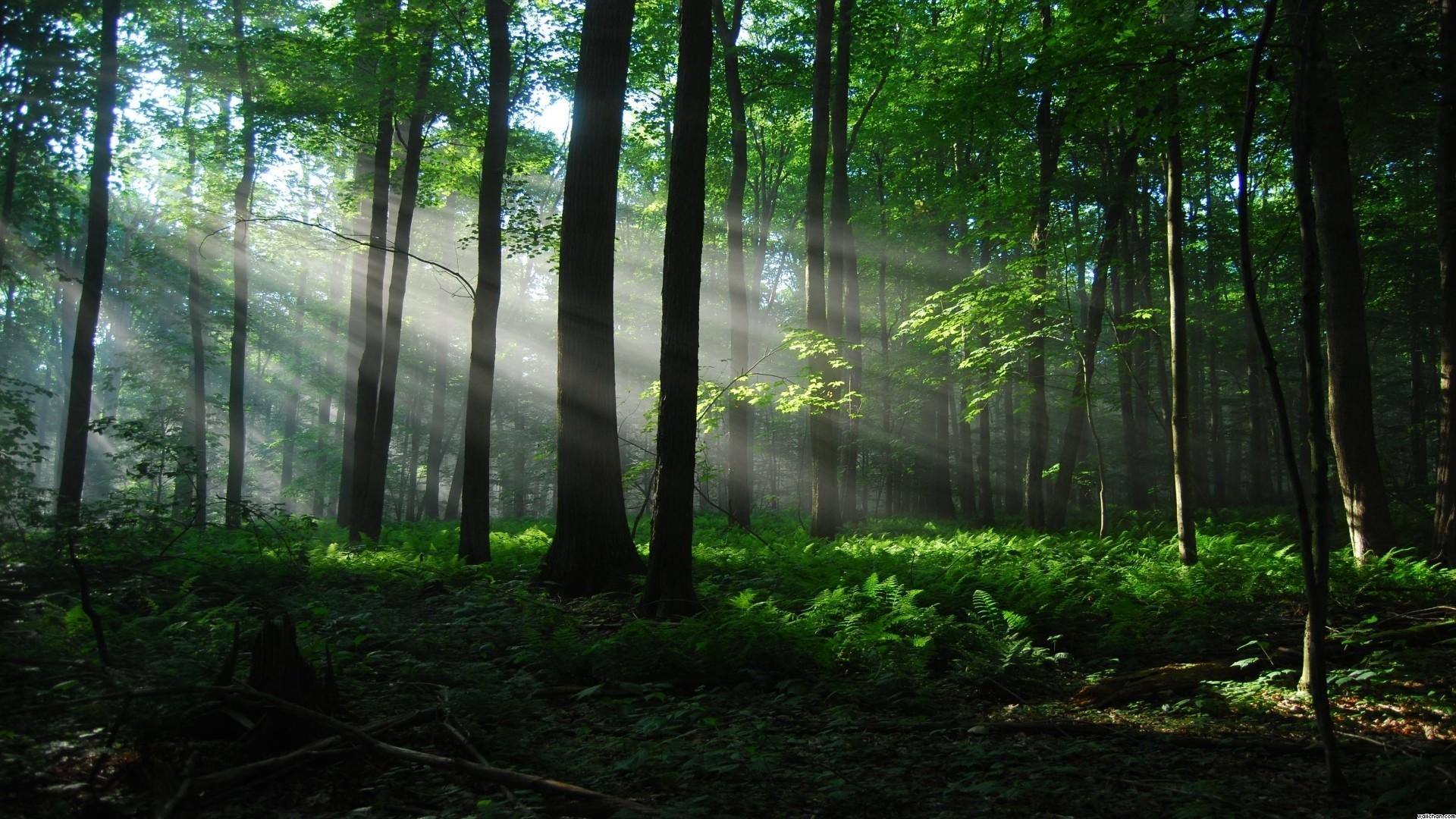nature forest wallpaper,forest,nature,natural landscape,woodland,tree